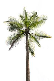 Coconut palm by Christina Rahm