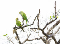 Two Rose Ringed Parakeet by Christina Rahm