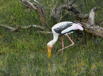 Sri Lanka painted stork von Christina Rahm