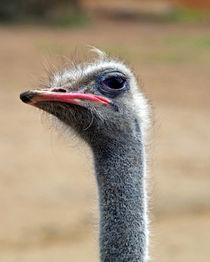 Ostrich von Glen Mackenzie