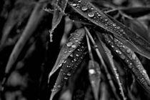 Waterdrops on Bambus von leddermann