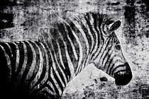 Zebra schwarz-weiss von leddermann