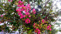 Beautiful Rose by Cheferson Amaro