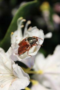 Beetle by lisebonne