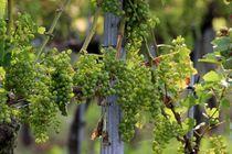 Vines von lisebonne