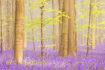 Beautiful bluebell forest von Sara Winter