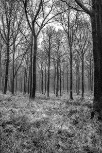 Winter Beech Woodland by David Tinsley