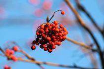 Red Berries von lisebonne