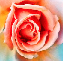 Rose by Glen Mackenzie