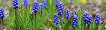 blaue Perlblumen von fotowelt-luebeck