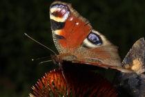 Schmetterling auf einer Blüte by fotowelt-luebeck