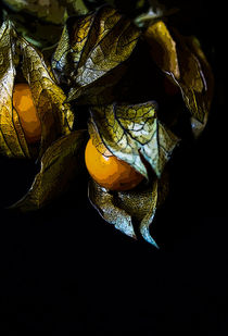 Physalis  by Heidrun Lutz