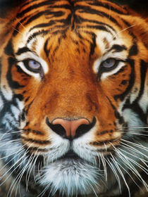 Tiger Portrait by AD DESIGN Photo + PhotoArt