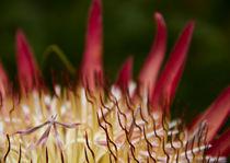 Protea Closeup von Steven Le Roux