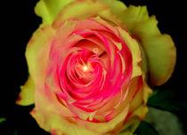 Das Strahlen der Rose von Jürgen Kohl