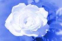 Dsc-1896-weisse-rose-b-3a-effekt-koloriert