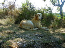 Dog resting in the shade  by esperanto