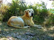 Big dog resting in the shade by esperanto