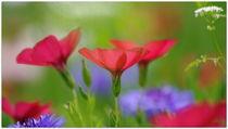 Sommerblüten by hibiskus