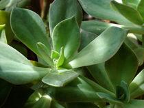 Succulent green von Inge Meldgaard