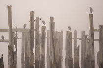 Weathered wooden pilings along waterfront in Puget Sound with herons sitting on beam von Jim Corwin