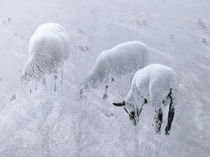 Winterschaf im Winterschlaf | White sheep deep asleep | Sueño blanco von artistdesign