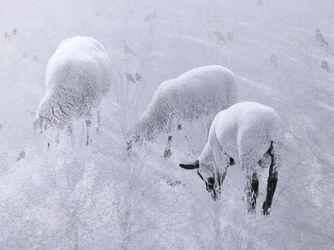 3-winterschaf-im-winterschlaf
