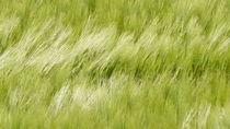 Wogendes Getreidefeld von Thomas Haas