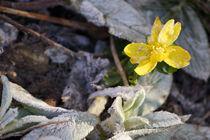Rauhreif auf gelbem Winterling von Sabine Radtke