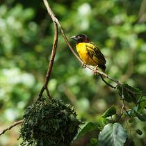 Webervogel beim Nest von Sabine Radtke