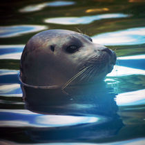 Junger Seehund by Sabine Radtke