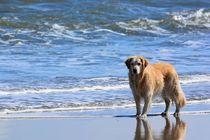 Golden Retriever am Strand by gscheffbuch