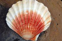 Red And White Seashell von Aidan Moran