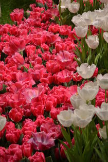 Tulpen by Ute Bauduin