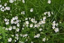 zarte Blüten von Ute Bauduin