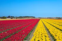 Tulip fields by Sara Winter