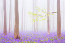 Foggy bluebell forest by Sara Winter