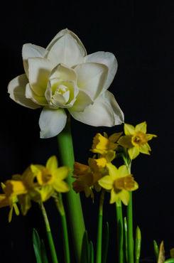 Amaryllis-tulpen