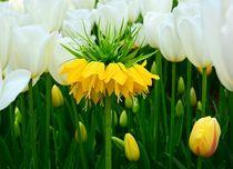 Frühlingsblumen von gscheffbuch