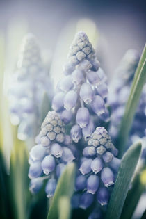 Muscari by Beate Zoellner