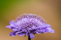Scabiosa Butterfly Blue by Engeline Tan