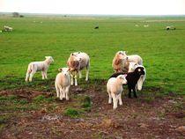 Schwarzes Schaf von Ute Bauduin