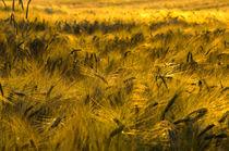 Getreidefeld von Kurt Gruhlke