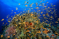 Red Sea reef scene von Christian Schlamann