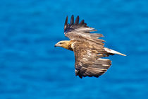 Sea Eagle in flight, See Adler  von Michael Nau