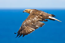 Sea Eagle in flight, See Adler 2 von Michael Nau
