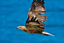 Sea Eagle in flight, See Adler 3 von Michael Nau