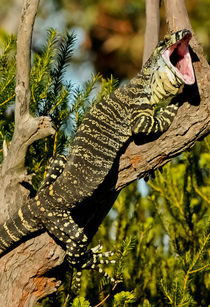 Goanna / Waran / Monitor by Michael Nau