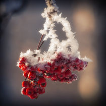 Berries in Ice by cinema4design