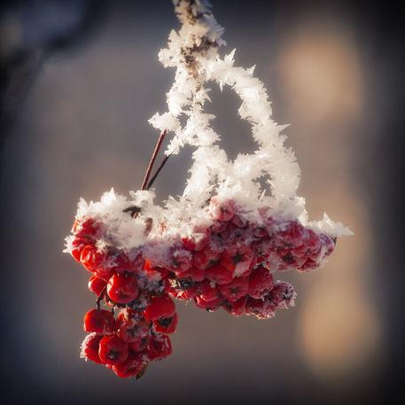 Berries-ice